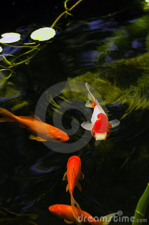 Free Outdoor Koi Fish Pond Royalty Free Stock Photography - 3035597