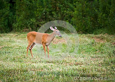 Outdoor Mammal Wildlife White Tail Doe Deer