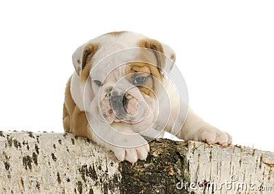 Outdoor puppy