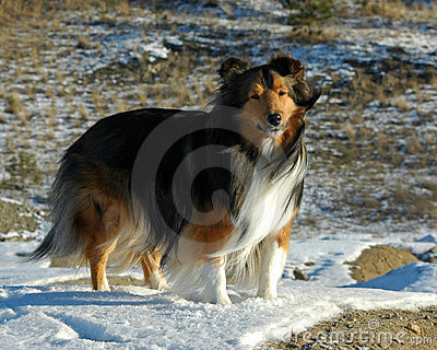 Outdoor Sheltie