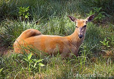 Outdoor Wildlife White Tail Deer Laying in Field