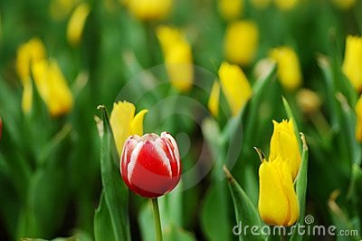 Outstanding red&white tulip