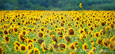 Outstanding Sunflower Stock Photos - Image: 1013953