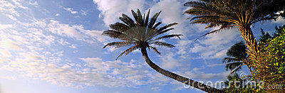 Outstretched palm tree