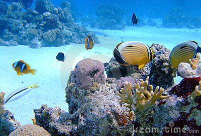 Oval butterflyfish on coral