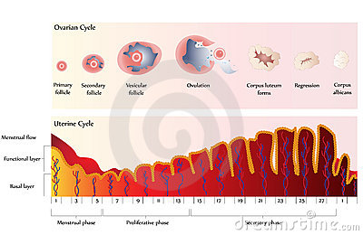 Ovarian and Uterine Cycle