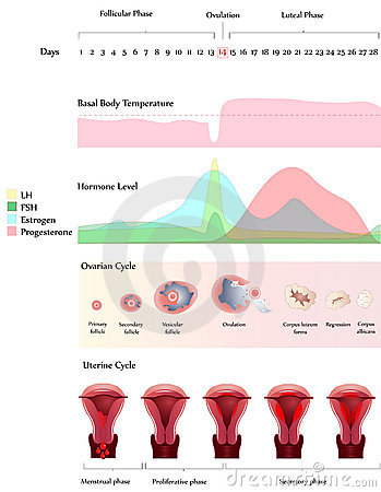 Free Ovary And Uterine Cycle Royalty Free Stock Image - 17184676