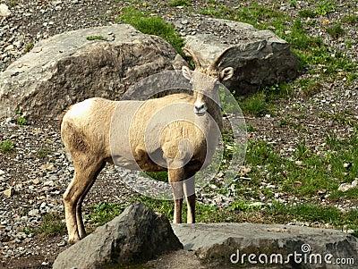 Ovejas de carnero con grandes cuernos de la montaña rocosa