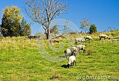 Ovejas que pastan en una colina