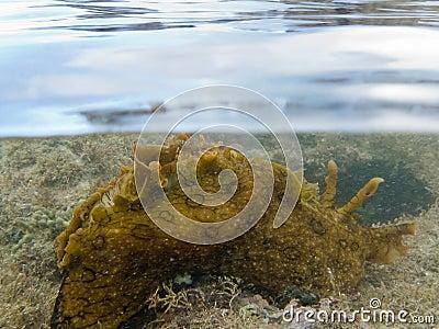 Over-under split shot of marine slug in seaweed