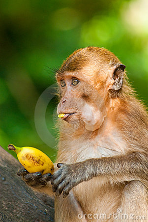 Overeating monkey portrait