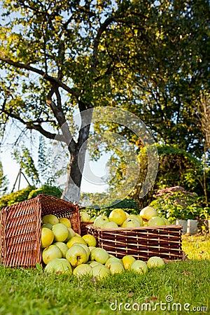 Overflowing apples in baskets