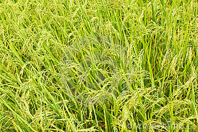 Overhead view of rice paddy crop