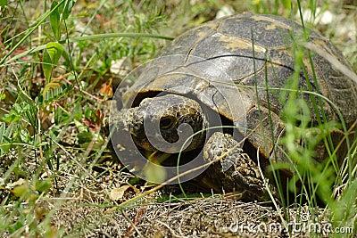 Overland turtle
