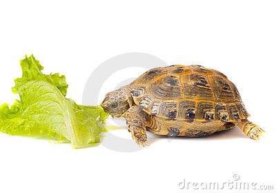 Overland turtle and salad sheet