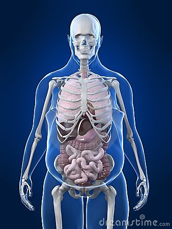 Overweight man - organs
