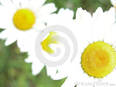 Overxposed daisies