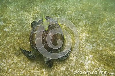 Overzeese schildpad met vissen