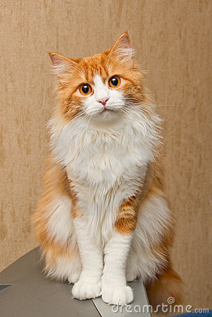 Owłosiona kot czerwień