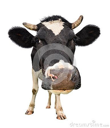Free Сow Full Length Isolated On White. Looking At The Camera Black And White Curious Cow Close Up. Funny Cow Muzzle Close Up. Royalty Free Stock Photo - 114988495