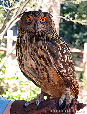 Free Owl Stock Photography - 2316472