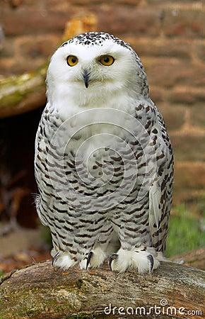 Free Owl Stock Image - 304651