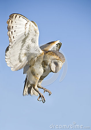Free Owl Stock Photography - 30772902