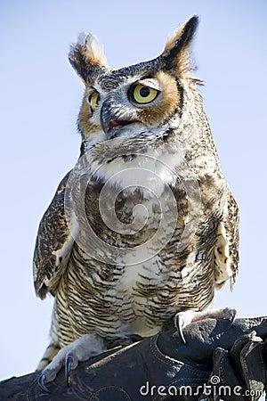 Free Owl Royalty Free Stock Image - 30773026