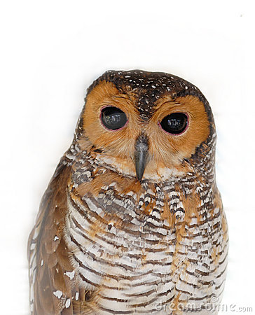 Free Owl Royalty Free Stock Photography - 4607697