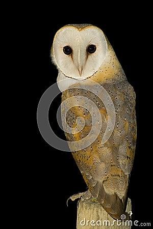 Free Owl Stock Photos - 7175063