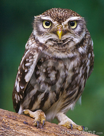 Free Owl Royalty Free Stock Photography - 9480207
