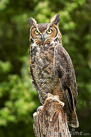Free Owl Stock Images - 9526704