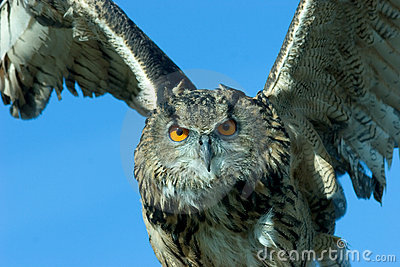 Owl in action