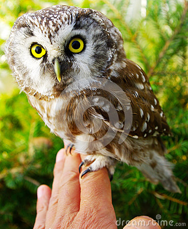 Owl (Aegolius funereus)