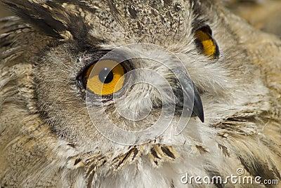 Owl with big orange eyes