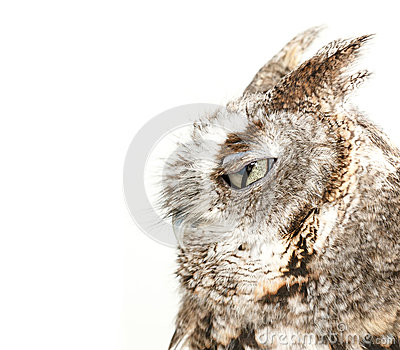Owl blinking on white background