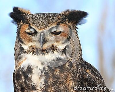 Owl on blue