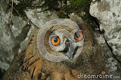 Owl (Bubo bubo)