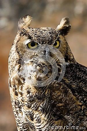 Owl, Bubo bubo