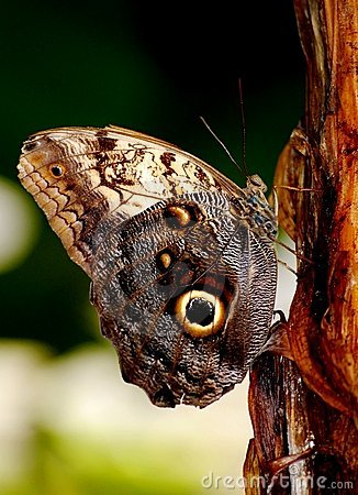 Free Owl Butterfly Stock Photos - 12302103
