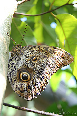 Free Owl Butterfly Royalty Free Stock Image - 13975556