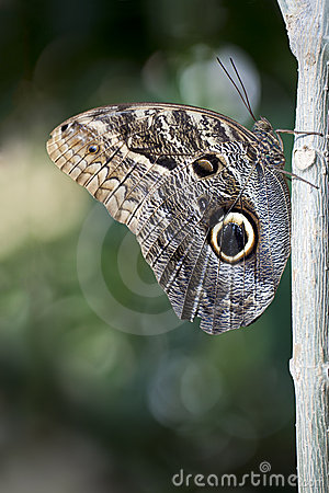Free Owl Butterfly Royalty Free Stock Images - 22701309