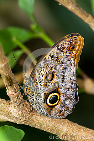 Free Owl Butterfly Stock Photo - 25432710
