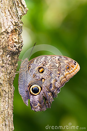 Free Owl Butterfly Stock Image - 25432721