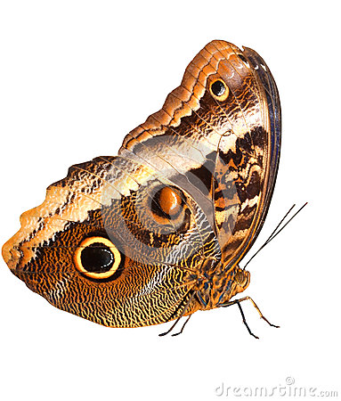 Free Owl Butterfly Stock Photography - 28031822