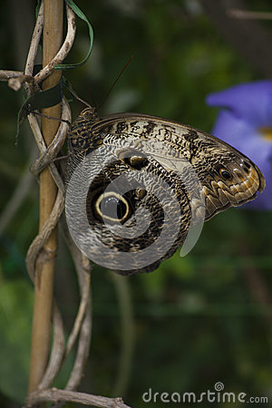 Free Owl Butterfly Royalty Free Stock Photography - 56911817