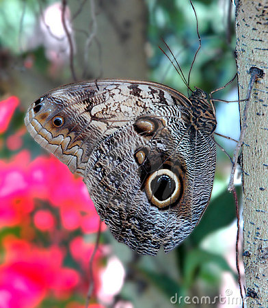 Free Owl Butterfly Royalty Free Stock Photos - 753348