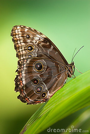 Free Owl Butterfly Stock Images - 9219864