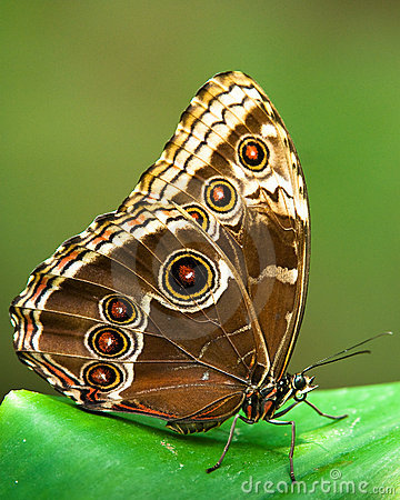 Free Owl Butterfly Stock Images - 9232504