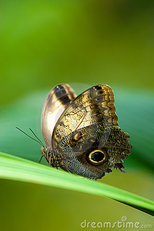 Free Owl Butterfly Royalty Free Stock Images - 9310579
